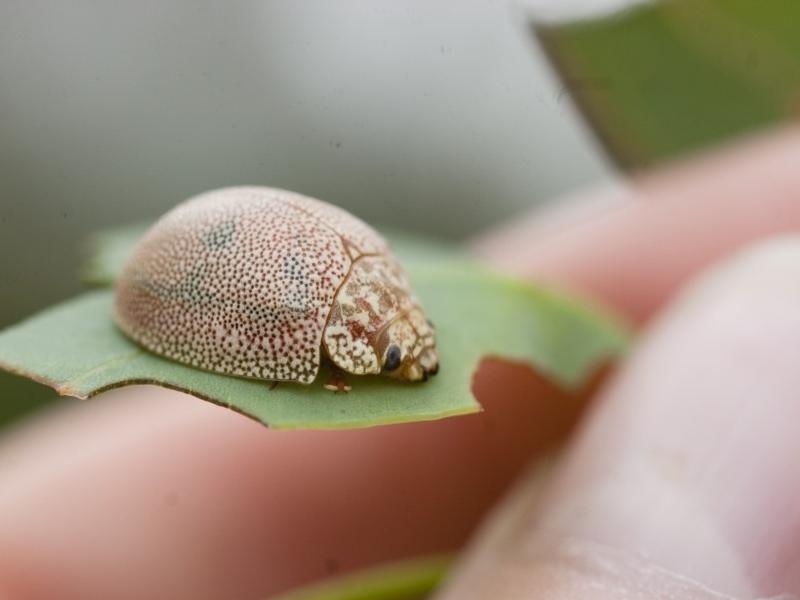 Paropsis atomaria at Michelago, NSW - 28 Nov 2011