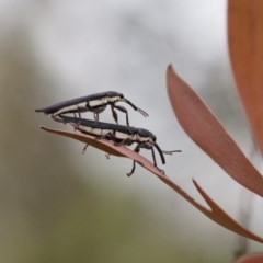 Rhinotia sp. (genus) (Unidentified Rhinotia weevil) at Michelago, NSW - 28 Nov 2011 by Illilanga