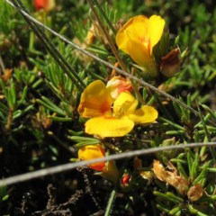 Dillwynia prostrata at Kosciuszko National Park - 10 Jan 2018
