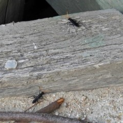 Pompilidae sp. (family) (Unidentified Spider wasp) at Jerrabomberra Wetlands - 15 Jan 2018 by RodDeb