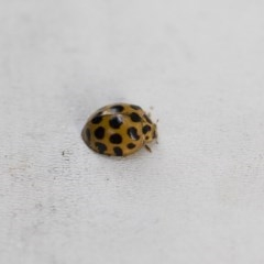 Harmonia conformis (Common Spotted Ladybird) at Illilanga & Baroona - 12 Jan 2018 by Illilanga