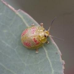 Paropsisterna fastidiosa (Eucalyptus leaf beetle) at Michelago, NSW - 28 Nov 2011 by Illilanga
