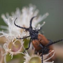 Porrostoma rhipidium at Michelago, NSW - 28 Nov 2011