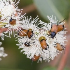 Phyllotocus rufipennis (Nectar scarab) at Illilanga & Baroona - 28 Nov 2011 by Illilanga