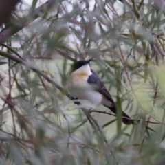 Myiagra inquieta (Restless Flycatcher) at Illilanga & Baroona - 1 Mar 2013 by Illilanga