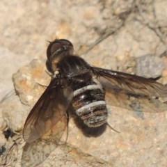 Villa sp. (genus) (Unidentified Villa bee fly) at Rob Roy Range - 30 Dec 2017 by michaelb