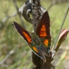 Paralucia aurifer (Bright Copper) at Namadgi National Park - 14 Jan 2018 by Christine