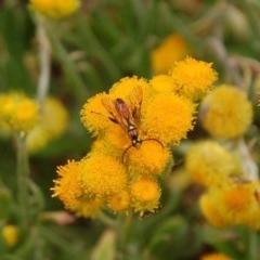 Ichneumonidae sp. (family) (Unidentified ichneumon wasp) at Aranda, ACT - 7 Nov 2016 by KMcCue