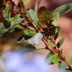 Lampides boeticus (Long-tailed Pea-blue) at Aranda, ACT - 23 Oct 2016 by KMcCue