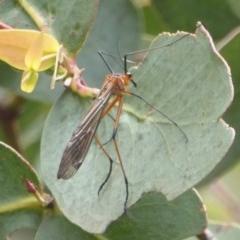 Harpobittacus australis (Hangingfly) at Namadgi National Park - 14 Jan 2018 by Christine
