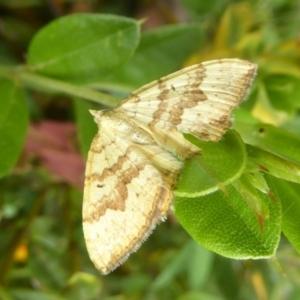 Chrysolarentia correlata at Namadgi National Park - 15 Jan 2018