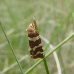 Subfurcatana subfurcatana (A totrix or leafroller moth) at Namadgi National Park - 14 Jan 2018 by Christine