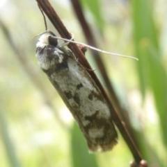 Philobota iphigenes (A concealer moth) at Namadgi National Park - 14 Jan 2018 by Christine
