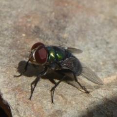 Lucilia cuprina (Australian sheep blowfly) at Namadgi National Park - 14 Jan 2018 by Christine