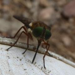 Scaptia sp. (genus) (March fly) at Namadgi National Park - 14 Jan 2018 by Christine