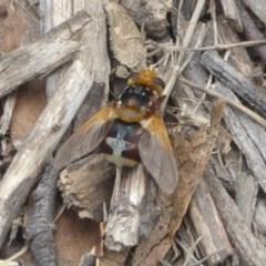 Microtropesa sp. (genus) (Tachinid fly) at Namadgi National Park - 14 Jan 2018 by Christine