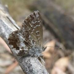 Neolucia hobartensis (Montane Heath-blue) at Namadgi National Park - 14 Jan 2018 by Christine