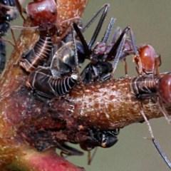Eurymelinae (subfamily) (Unidentified eurymeline leafhopper) at Bruce Ridge - 11 Nov 2017 by PeteWoodall