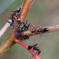 Iridomyrmex purpureus (Meat Ant) at Bruce Ridge - 11 Nov 2017 by PeteWoodall