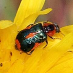 Dicranolaius villosus (Melyrid flower beetle) at Bruce Ridge - 11 Nov 2017 by PeteWoodall