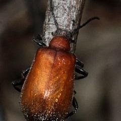 Ecnolagria grandis (Honeybrown beetle) at Bruce Ridge - 11 Nov 2017 by PeteWoodall