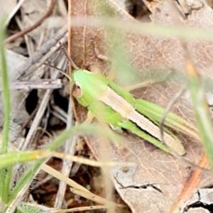 Praxibulus sp. (genus) at Bruce Ridge - 12 Nov 2017