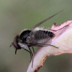 Geron sp. (genus) (Slender Bee Fly) at Bruce Ridge - 11 Nov 2017 by PeteWoodall