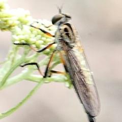 Cerdistus sp. (genus) (Robber fly) at Bruce Ridge - 11 Nov 2017 by PeteWoodall