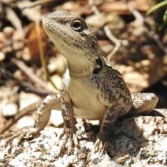 Amphibolurus muricatus (Jacky Lizard) at Paddys River, ACT - 15 Jan 2018 by JohnBundock