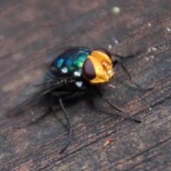 Rutilia (Ameniamima) sp. (genus & subgenus) (A Bristle fly) at Aranda, ACT - 28 Jan 2015 by KMcCue