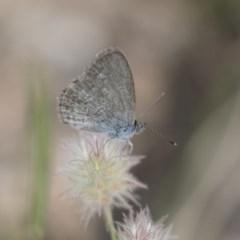 Zizina otis (Common Grass-blue) at Michelago, NSW - 3 Jan 2018 by Illilanga