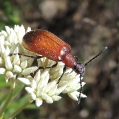 Ecnolagria grandis (Honeybrown beetle) at Conder, ACT - 30 Dec 2017 by michaelb