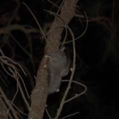 Petaurus breviceps (Sugar Glider) at Mount Majura - 8 Oct 2015 by KMcCue