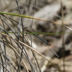Xanthagrion erythroneurum (Red & Blue Damsel) at Illilanga & Baroona - 13 Nov 2017 by Illilanga
