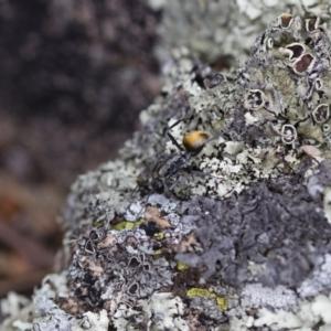 Polyrhachis sp. (genus) at Illilanga & Baroona - 26 Oct 2017