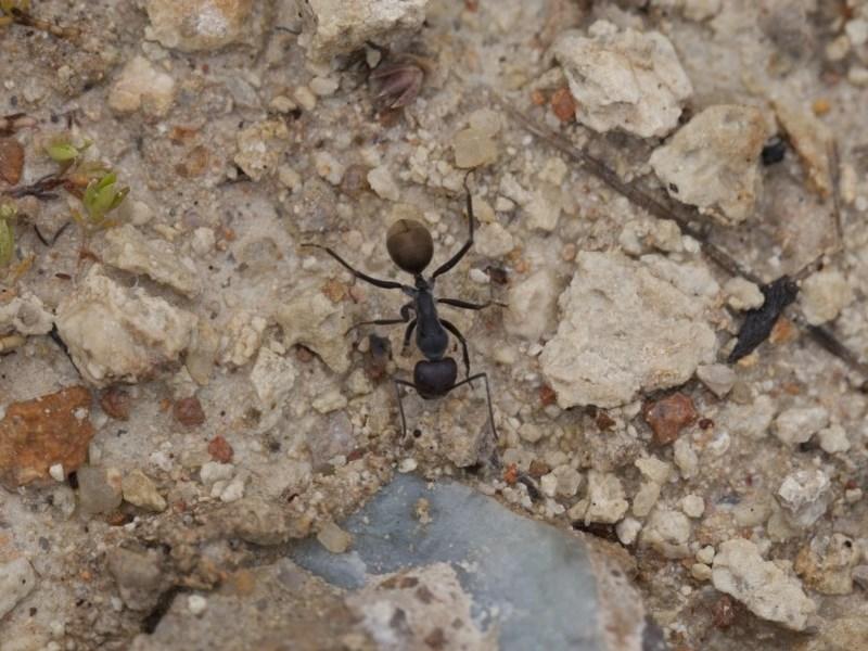 Camponotus suffusus at Illilanga & Baroona - 28 Nov 2011
