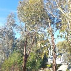 Eucalyptus globulus subsp. bicostata (Southern Blue Gum, Eurabbie) at Griffith Woodland - 17 Jan 2018 by ianandlibby1