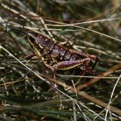 Monistria concinna (Southern Pyrgomorph, Southern Gaudy Grasshopper) at Namadgi National Park - 27 Sep 2014 by KMcCue