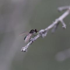 Geron sp. (genus) at Illilanga & Baroona - 26 Dec 2017