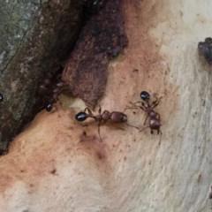 Podomyrma gratiosa (Muscleman tree ant) at Illilanga & Baroona - 17 Jan 2018 by Illilanga