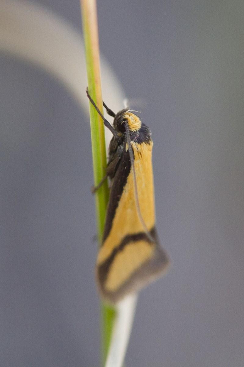 Philobota ancylotoxa at Illilanga & Baroona - 7 Nov 2017