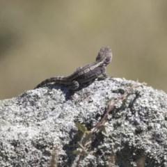 Amphibolurus muricatus (Jacky Lizard) at Booth, ACT - 17 Jan 2018 by AlisonMilton