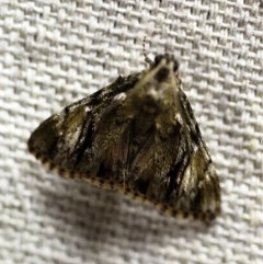 Salma cinerascens (A Pyralid moth) at O'Connor, ACT - 15 Jan 2018 by ibaird