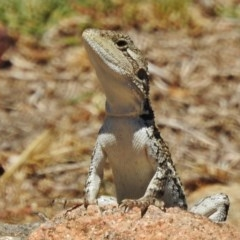 Amphibolurus muricatus (Jacky Lizard) at Stromlo, ACT - 18 Jan 2018 by JohnBundock