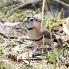 Taeniopygia bichenovii (Double-barred Finch) at Bruce, ACT - 18 Jan 2018 by Alison Milton