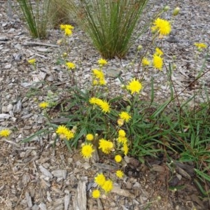 Podolepis jaceoides at Sth Tablelands Ecosystem Park - 11 Jan 2018