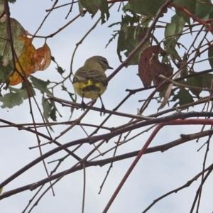 Acanthiza chrysorrhoa at Sth Tablelands Ecosystem Park - 11 Jan 2018