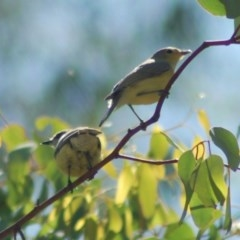 Gerygone olivacea (White-throated Gerygone) at Majura, ACT - 22 Dec 2012 by KMcCue