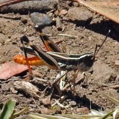Macrotona australis (Common Macrotona Grasshopper) at Black Mountain - 17 Jan 2018 by RodDeb