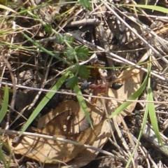Myrmecia nigriceps (Black-headed bull ant) at Mount Mugga Mugga - 19 Jan 2018 by Mike